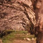 18 Sakura at Night, Akita