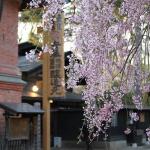 Spring5 Sakura