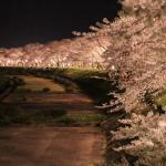 17 Sakura at Night, Akita